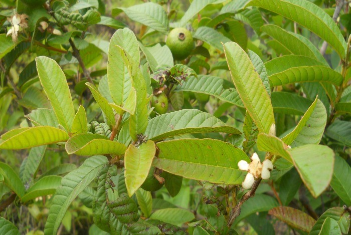 home remedies for toothache - guava leaves