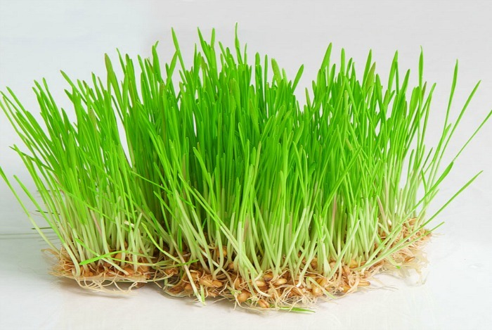 home remedies for toothache - wheat grass