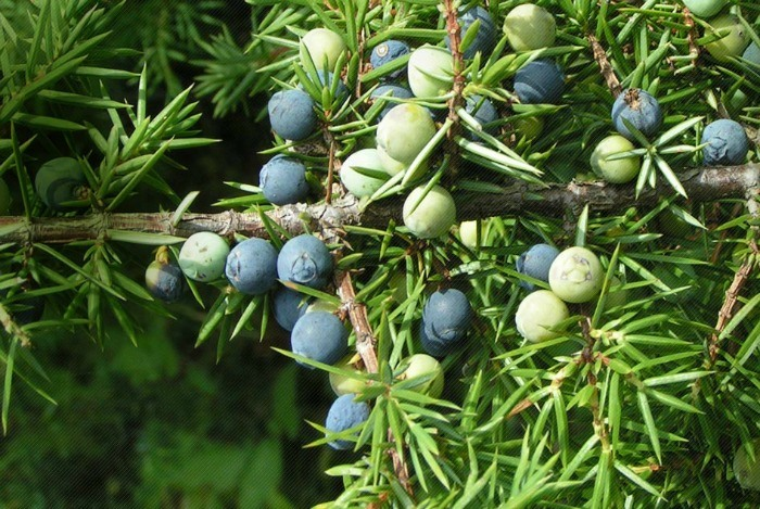 home remedies for eczema - juniper berry, sage, and thyme