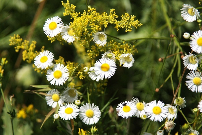 home remedies for diarrhea - chamomile