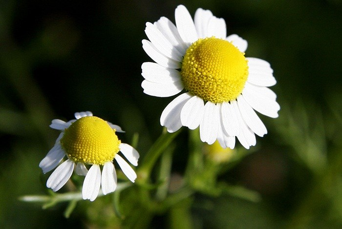 home remedies for eczema - chamomile