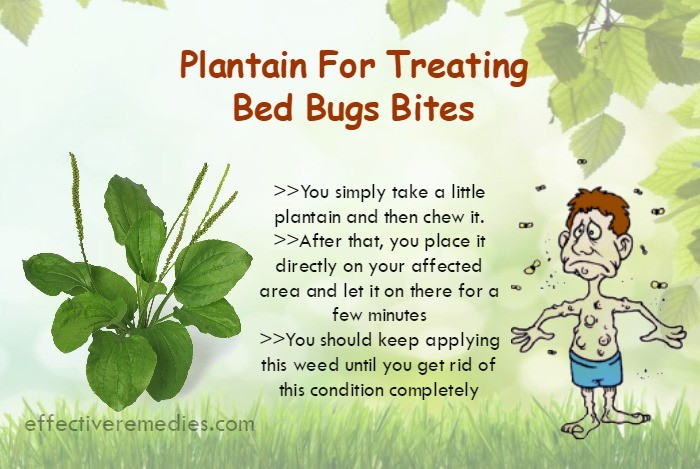 plantain-for-treating-bed-bugs-bites
