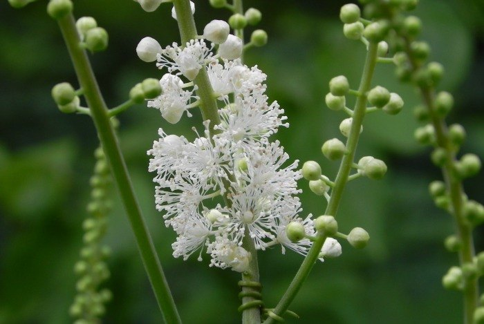 home remedies for abortion - black Cohosh