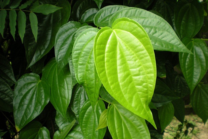 home remedies for boils - betel leaves