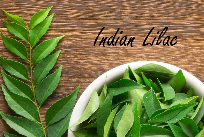 home remedies for boils - indian lilac