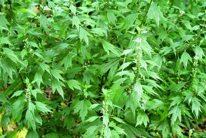 home remedies for hyperthyroidism - motherwort herb