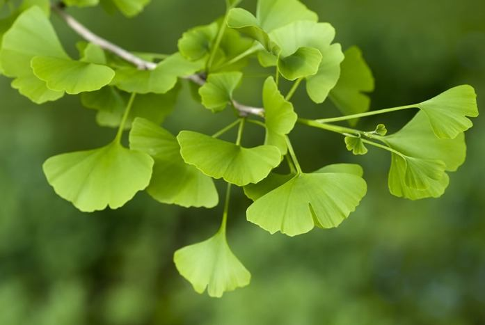 home remedies for depression - ginkgo biloba