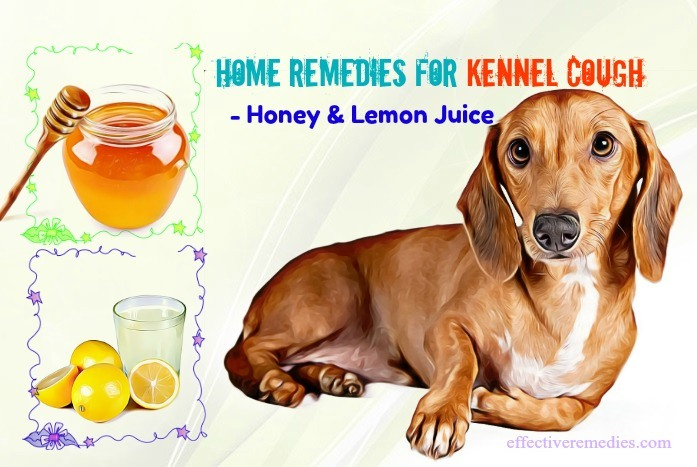 home remedies for kennel cough in dogs - honey & lemon juice